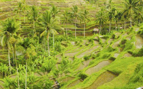 Bali_Tegalalang-500x313